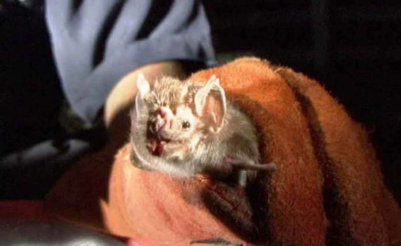 Especialistas advierten sobre el impacto en la conservación de los murciélagos de la región de Los Tuxtlas, por las perturbaciones a su hábitat. (Sipse/archivo)