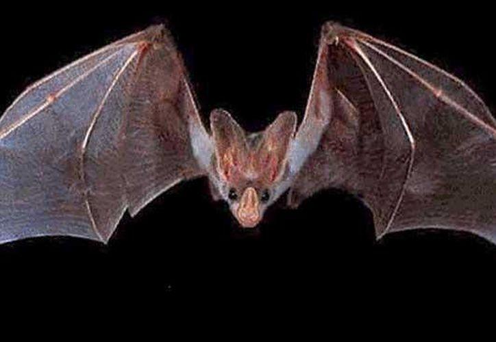 En Quintana Roo, la población de murciélagos está compuesta por 31 especies. (Contexto/Internet)
