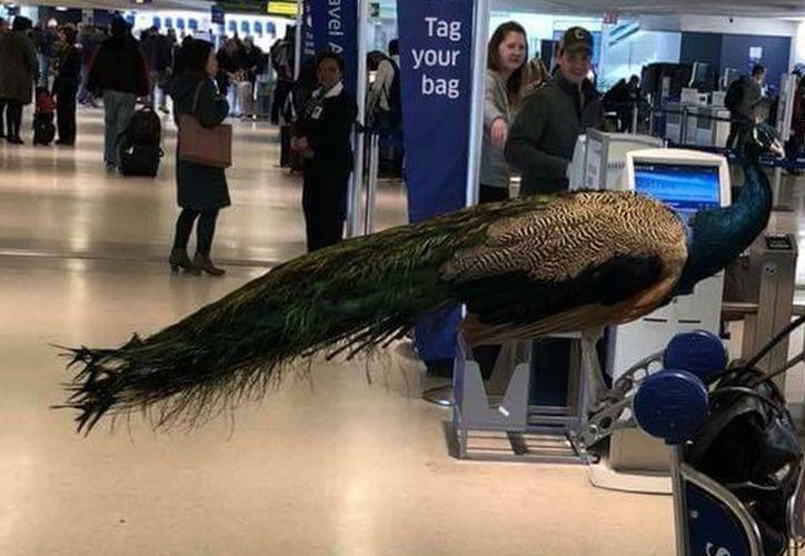 Una mujer llevaba a un pavo real como mascota de apoyo. (Foto: Internet)