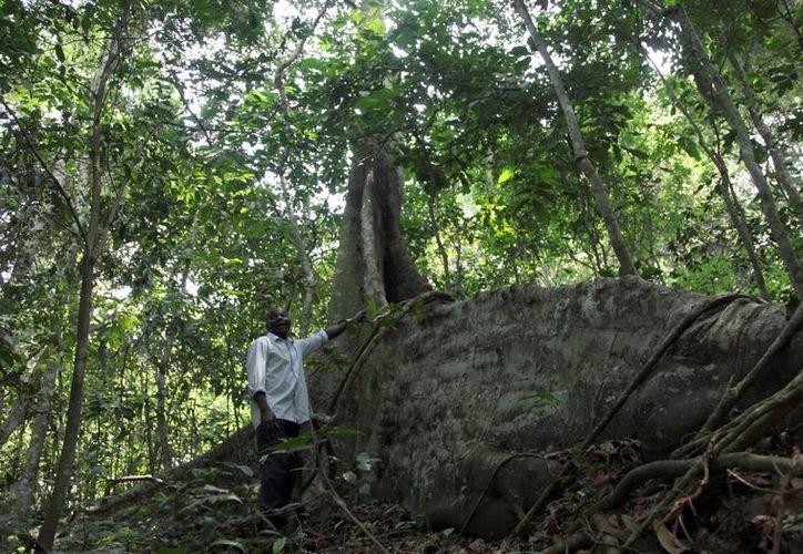 Gerald Mukisa, agente forestal y guía turístico, posa en la selva de Zika unos 25 kilómetros al este de Kampala, Uganda. (Agencias)