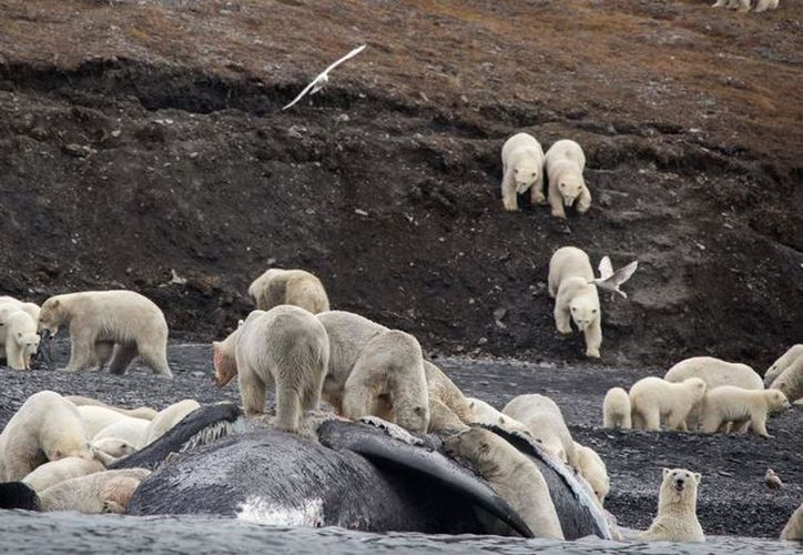 Cada vez son más los osos polares que acuden a la isla de Wrangel. (Contexto)