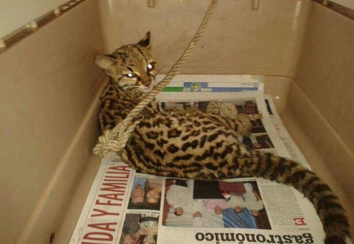 Vecinos de la carretera transversal atraparon a la especie en peligro de extinción. (Redacción/SIPSE)