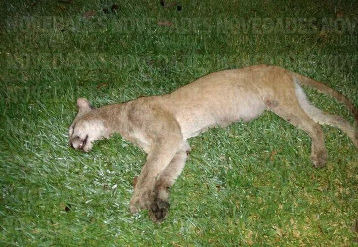 El día de ayer fue hallado sin vida un puma a un costado de la carretera federal de Playa del Carmen. (Cortesía)