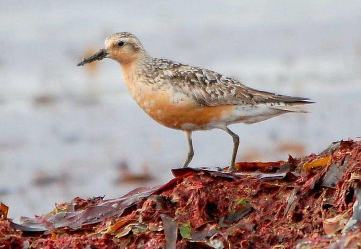 El playerito pectoral es un ave que no escatima esfuerzos cuando se trata de transmitir sus genes. (EPV)