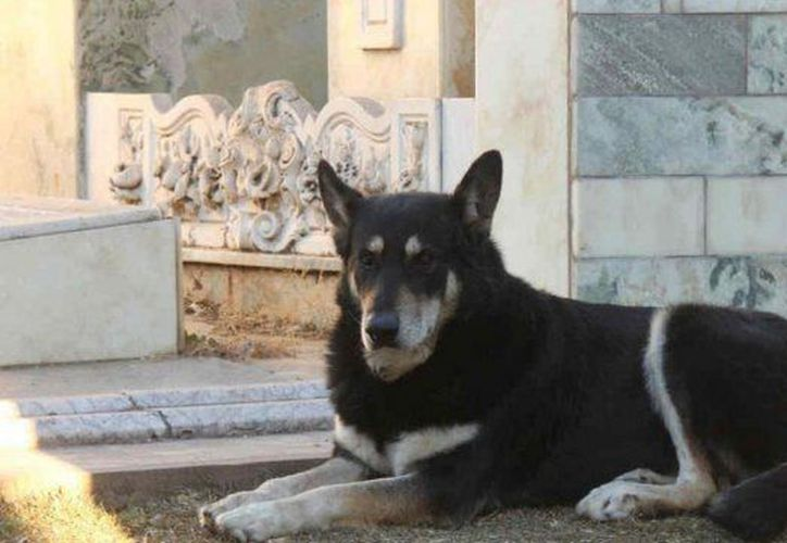 """""""Capitán"""", el perro que vivió diez años junto a la tumba de su dueño, (Foto: La Capital)"""