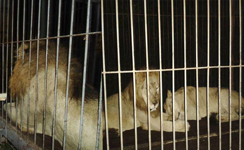 Los leones habrían sido abandonados por un circo que pretendía instalarse cerca del Rancho Nohyaché, debido a que carecía de la autorización necesaria. (profepa.gob.mx)