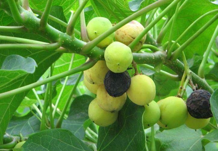 Racimo de la planta Jatropha curcas, usada en Cuba para producir combustible. (Internet)