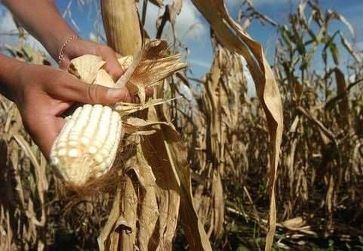 En Yucatán, a diferencia de otros estados de la República, la sequía dura unos tres meses. (Archivo/SIPSE)