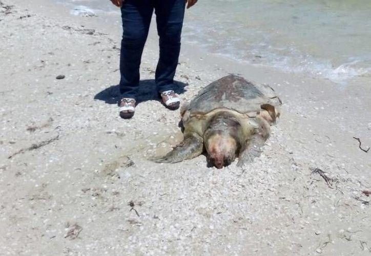 Esta tortuga hallada en Chicxulub pueblo se suma a la cada vez más larga lista de animales marinos muertos en costas yucatecas en semanas y meses recientes. (Milenio Novedades)