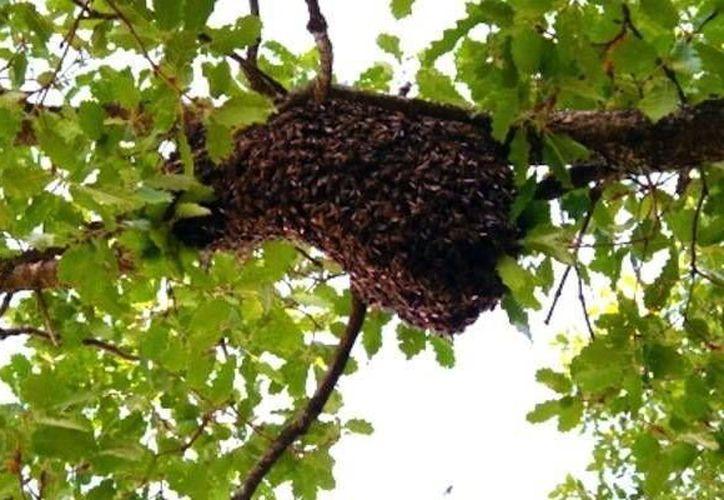Los expertos recomiendan no molestar a los enjambres de abejas africanizadas. (Milenio Novedades)