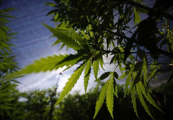 El titular del CIJ, Víctor Roa, dijo que la cannabis debe ser sumistrada para uso terapéutico, en enfermos de cáncer, por ejemplo. (Archivo/Notimex)