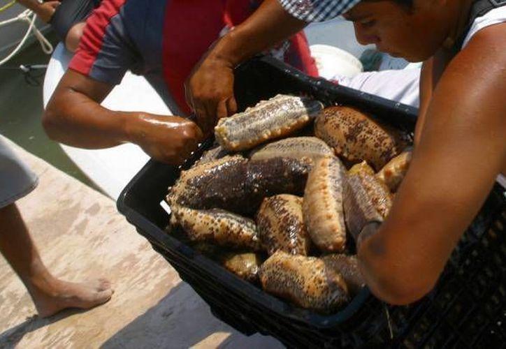 Cinco personas, todas ellas de Chicxulub puerto, fueron arrestadas en posesión ilegal de pepino de mar. (Foto de contexto de SIPSE)