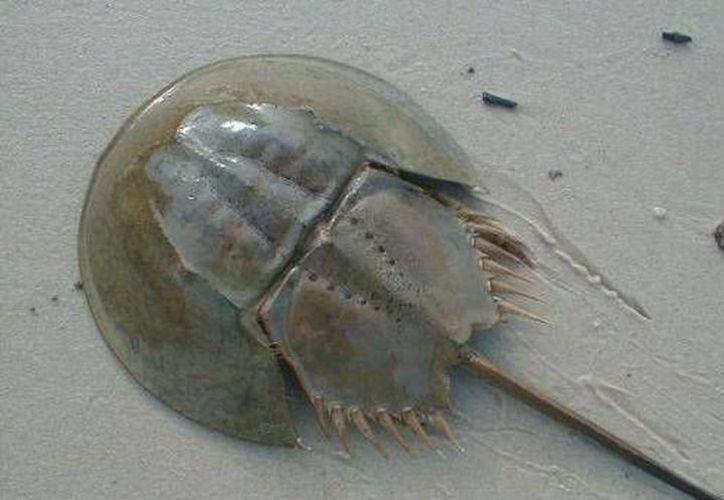 Las costas de Holbox y la zona continental de Chiquilá son las principales áreas de anidación de la especie. (Redacción/SIPSE)