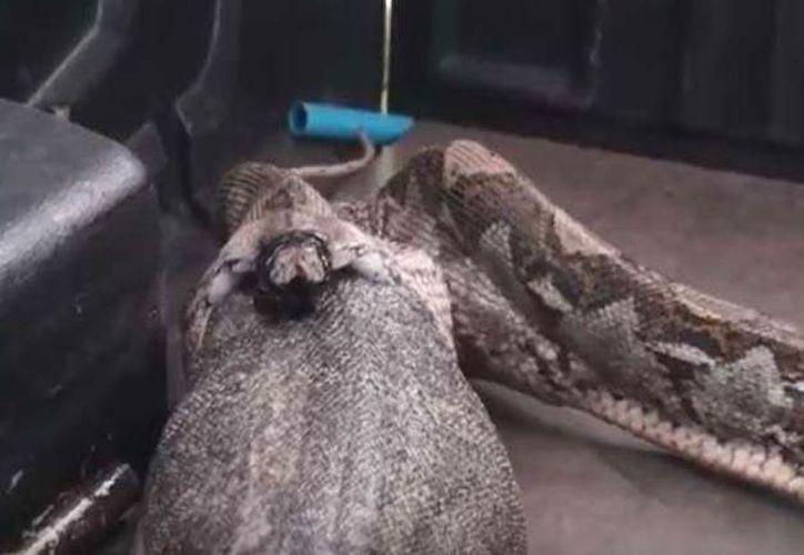 La serpiente expulsó un ejemplar de un metro de largo y 15 kilos. (Foto: Captura de video)
