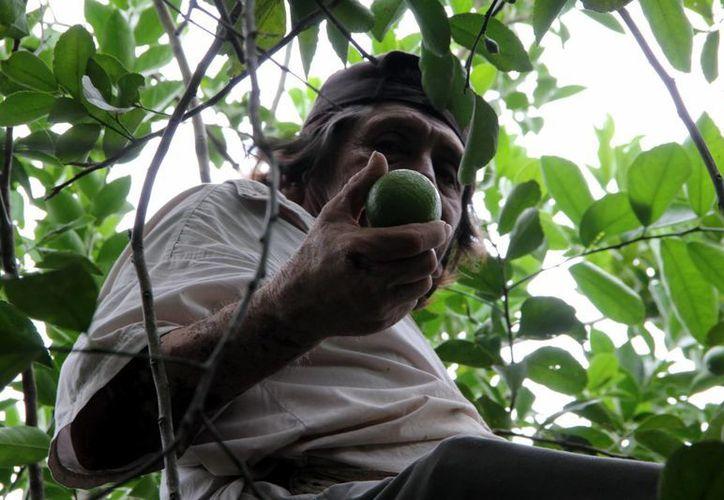 Como si fuera un tesoro, un productor muestra el limón rebuscado en una planta de su huerto. (José Acosta/SIPSE)