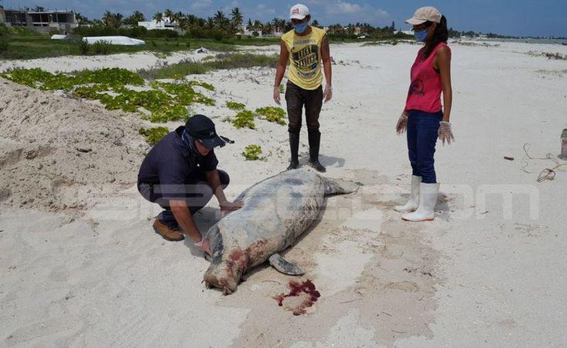 Este sábado por la mañana, se inició, en Progreso, la autopsia del manatí que recaló muerto en playa de Telchac Puerto. (Gerardo Keb/SIPSE)