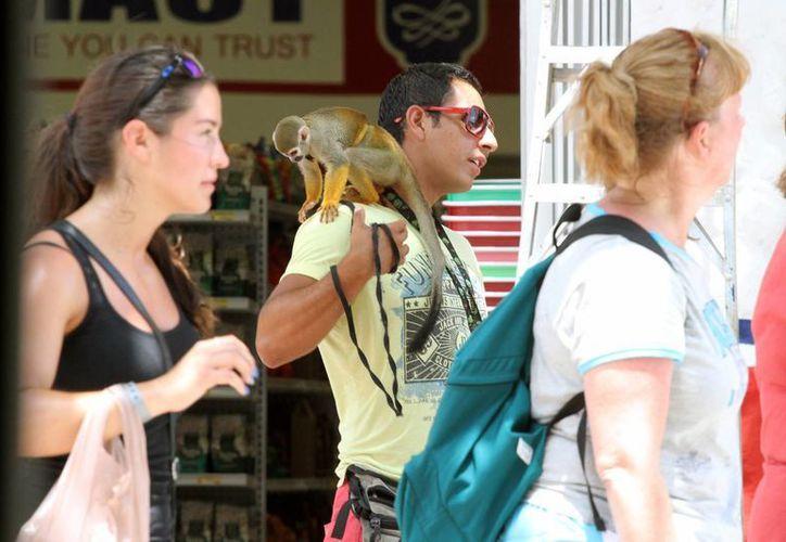 En la zona turística de Playa del Carmen aún se puede ver a personas que ofrecen fotos con animales exóticos. (Adrián Barreto/SIPSE)