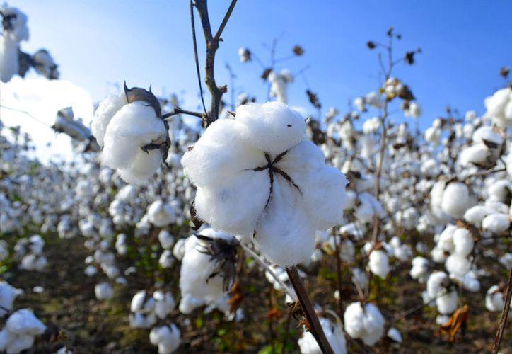 Aunque es un producto que tiene ciertas desventajas su producción ha aumentado en México. (Foto: Agriculturers).