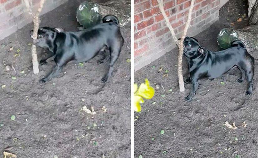 La mascota reacciona con ladrido agresivo hacia la planta. (Foto:larepublica.pe)