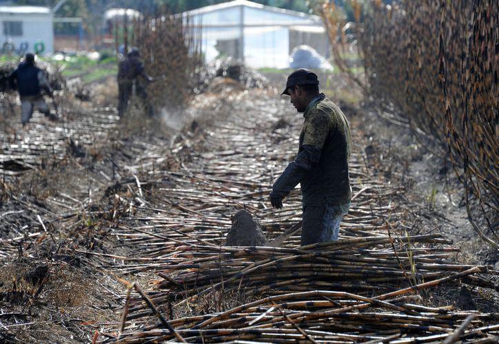 En Carlos A. Madrazo, Allende, Pucté, Obregón Nuevo y Cacao, se concentra el mayor número de cortadores de caña. (Carlos Castillo/SIPSE)