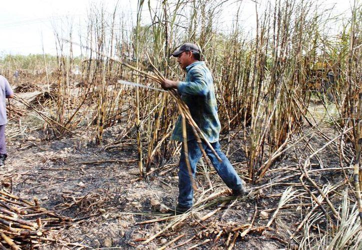 En enero próximo comenzará el registro de dos mil cortadores de la vara dulce. (Edgardo Rodríguez/SIPSE)