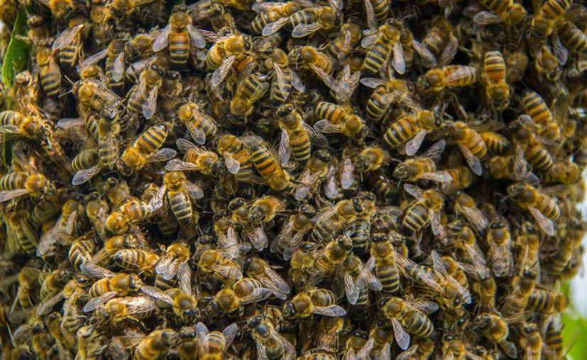Miles a de abejas han muerto en Moscú en los últimos días.  (Foto de contexto/Pxhere)