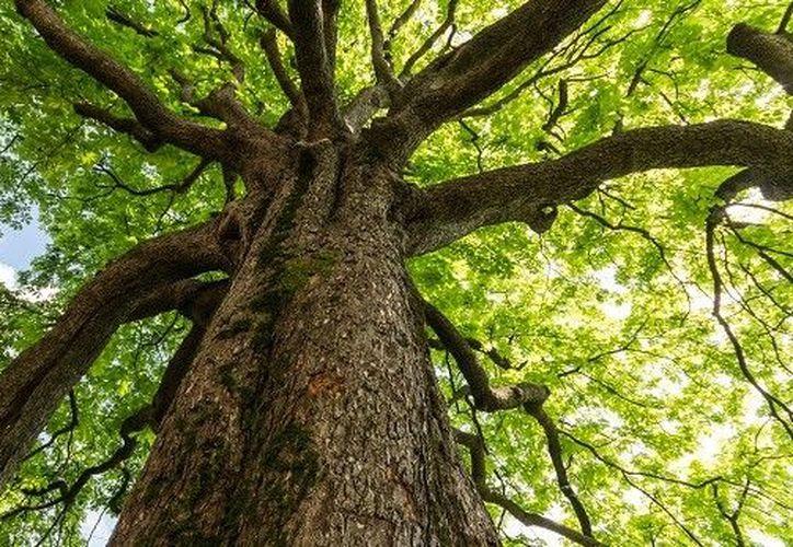 Los árboles, al igual que las plantas, se valen de la fotosíntesis para transformar la energía de la luz solar. (Contexto/Internet).