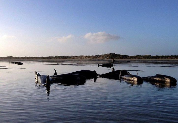 La mayoría de las ballenas ya habían muerto cuando fueron descubiertas por los rescatistas. (guim.co.uk)
