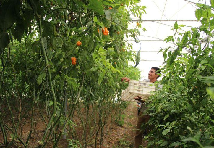 La mayoría de los trabajadores de la tierra se avocan a cultivos de caña de azúcar por sus bajos precios. (Carlos Castillo/SIPSE)