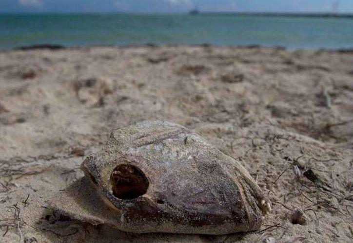 La marea roja puede causar la muerte masivas de peces. Aún se desconoce si la que recientemente se detectó en costas de Yucatán es tóxica. La imagen es de contexto. (Notimex)