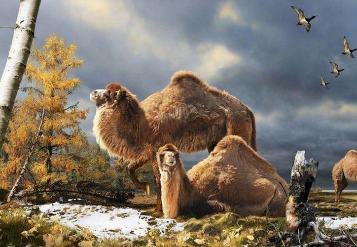 Ilustración del camello gigante que vivió hace 3,5 millones de años y del que se han encontrado huesos fósiles en la isla de Ellesmere, Canadá. (EFE)