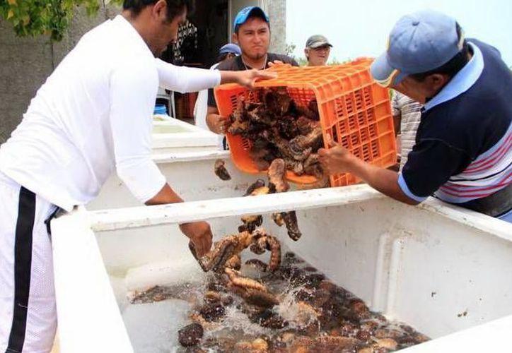 En 2017 los pescadores tuvieron dos meses para capturar pepino de mar. (Milenio Novedades)