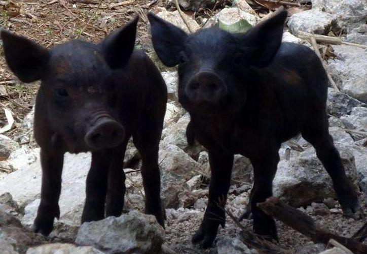 En Yucatán se han detectado de 10 a 15 puntos donde se cría el cerdo pelón. (SIPSE)