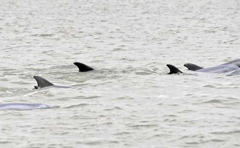 En Perú la pesca de delfines está prohibida desde 1996. (Archivo/EFE)