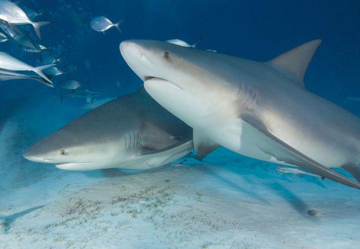 Cuatro tiburones acecharon a un niño en las playas de las Bahamas. (Foto:  National Geographic en Español)