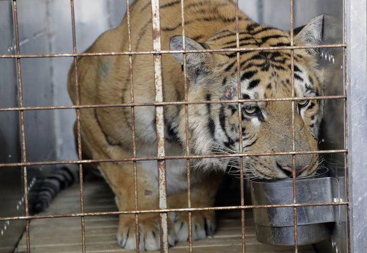Laziz, el tigre rescatado de un zoológico en Gaza, podrá merodear en el  Santuario de Felinos Lionsrock en Sudáfrica más de 10 mil metros cuadrados en el que podrá además nadar y trepar. (AP/Themba Hadebe)