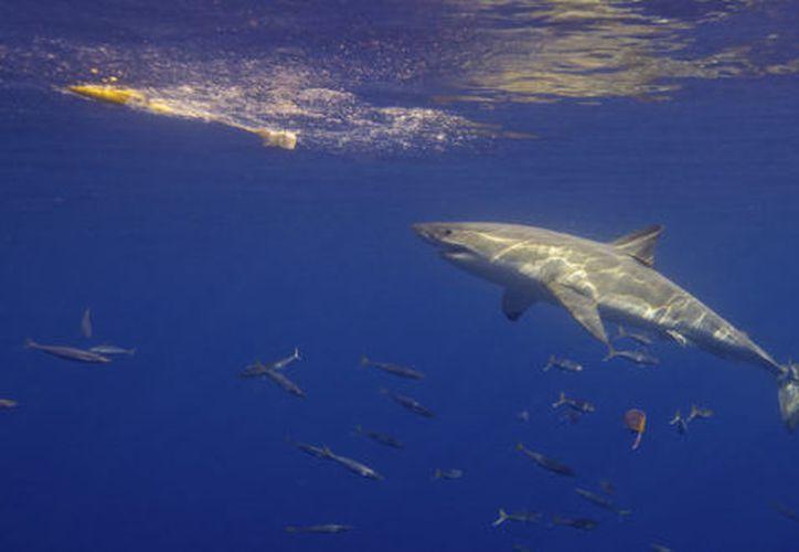Los ejemplares del océano Pacífico pueden superar los 4.5 metros. (Foto: Semanario)