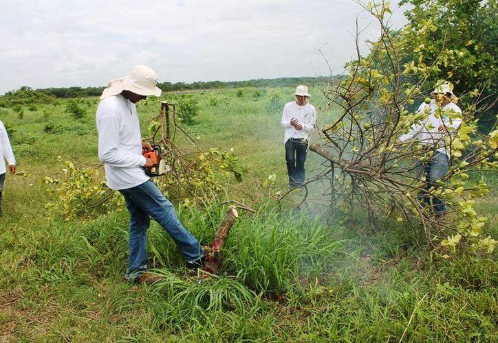 Recomiendan a los productores de cítricos de la entidad derribar los árboles infectados con el virus del Huanglongbing. (Edgardo Rodríguez/SIPSE)