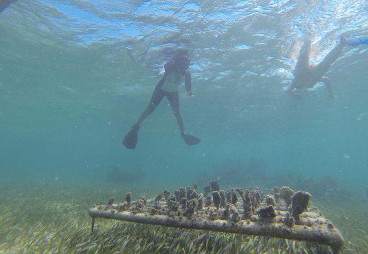 Los trabajos de translocación del coral han costado cerca de 90 mil pesos. (Fotos de Archivo/SIPSE)