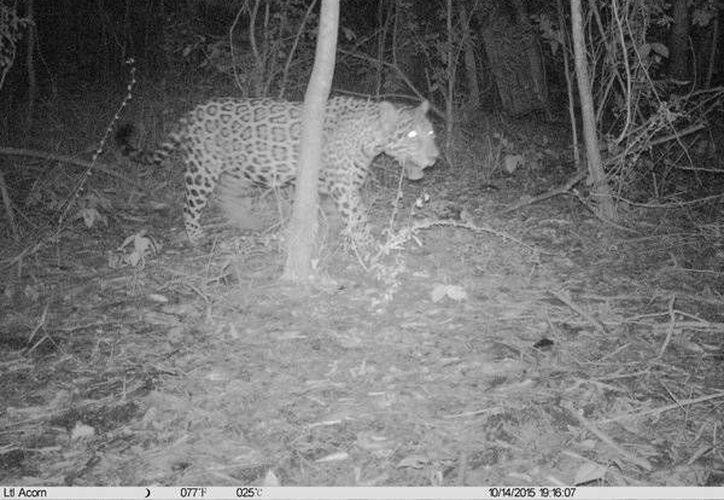 La imagen del ejemplar macho de jaguar (Panthera onca) fue compartida por la Conanp. (Cortesía/Twiter)