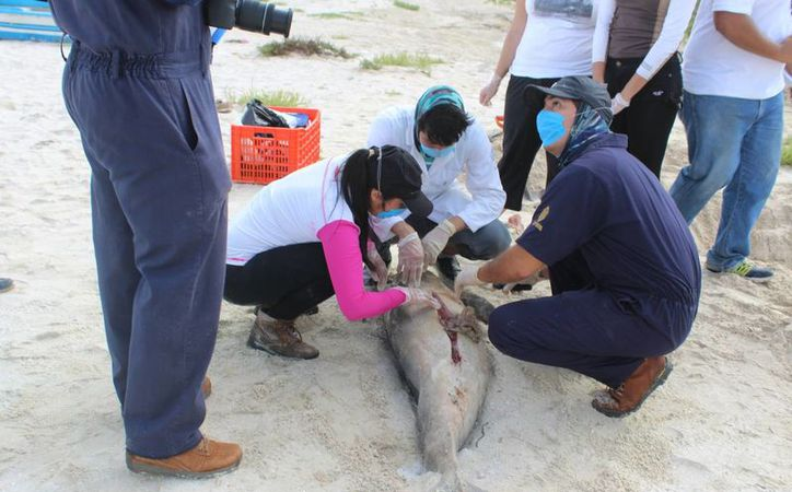 Personal de la Uady realizó este martes la necropsia al delfín que recaló y murió en la costa de Chelem. (Gerardo Keb/Milenio Novedades)