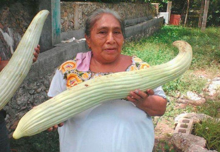 Pepinos gigantes sorprendieron a los habitantes de una finca en Umán, Yucatán. Las imagenes se han vuelto virales en redes sociales. (Alejandro Gómez/SIPSE Noticias)