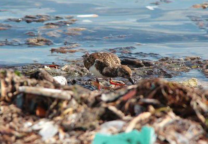 La organización ambientalista Citymar denuncia que no se aplica la ley en materia ambiental en Cozumel. (Gustavo Villegas/SIPSE)