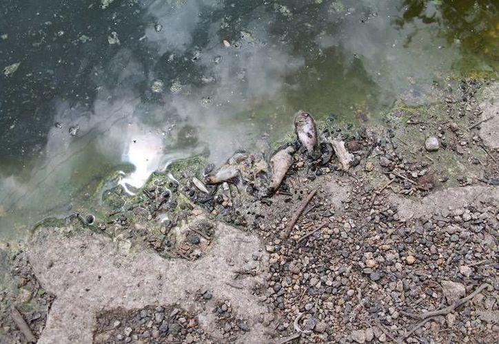 Tiene varios días que los peces comenzaron a morir. (Javier Ortiz/ SIPSE)