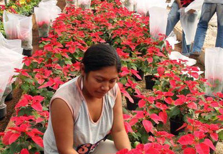 La producción de flores de nochebuena se dan en invernaderos de Hoctún, Homún, Kanasín, Conkal, Mocochá, Dzununcán y Teya. (Milenio Novedades)