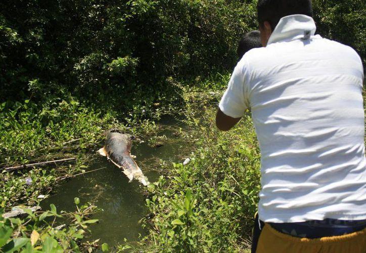 Por el grado de descomposición el delfín fue hundido. (Harold Alcocer/SIPSE)