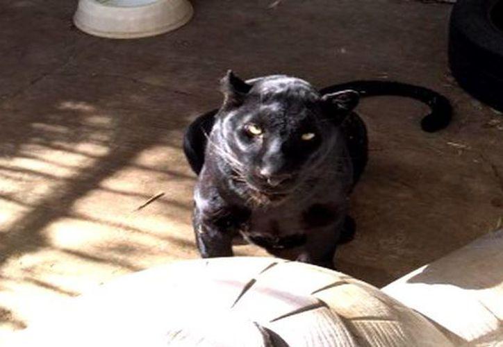 El leopardo negro fue trasladado a la Unidad de Manejo para la Conservación de Vida Silvestre de la Profepa. (profepa.gob.mx)