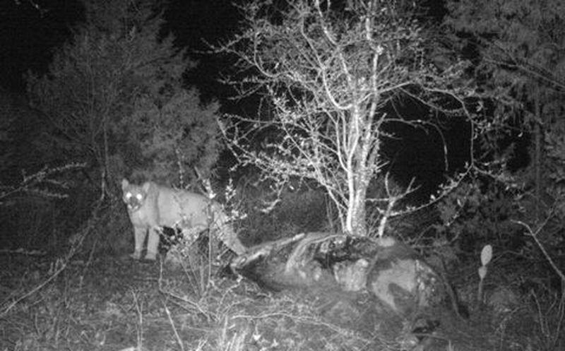 Confirma Semarnath presencia de pumas en Hidalgo