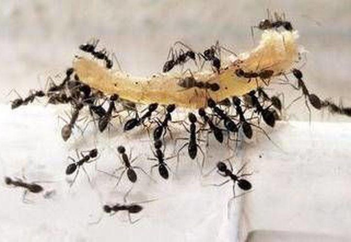 Sea en polvo o en aceite, la canela también sirve para alejar a las hormigas de una zona determinada. (Contexto/Internet)