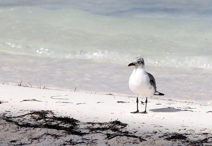 En la Península de Yucatán hay 555 tipos diferentes de aves que están distribuidas en Yucatán, Quintana Roo y Campeche. (Francisco Gálvez/SIPSE)
